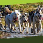 Husky és malamut simogató, kutyafogathajtás a többszörös Európa bajnok Baróti család tagjaival (Veresvirág Panzió és környéke, fizetős)